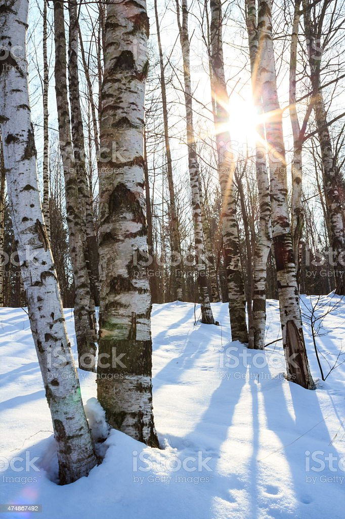Winter day in birch forest with deep snow stock photo