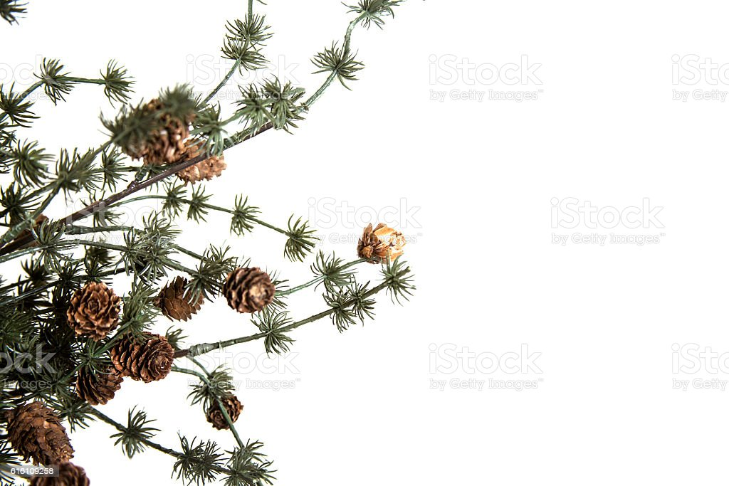 Winter evergreen tree branch on white background. stock photo