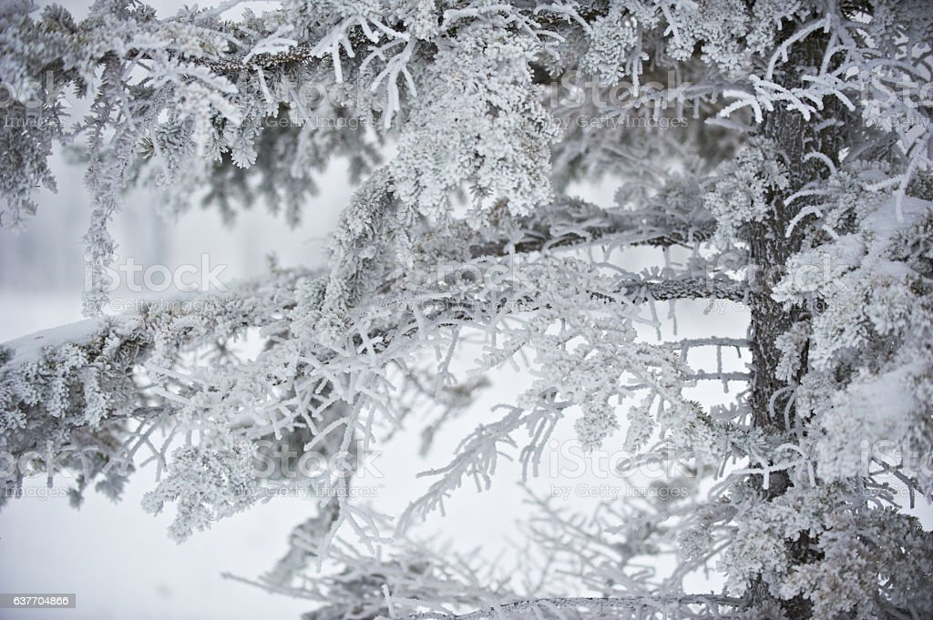 winter fir branch stock photo