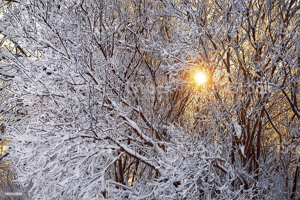 winter forest and sun royalty-free stock photo