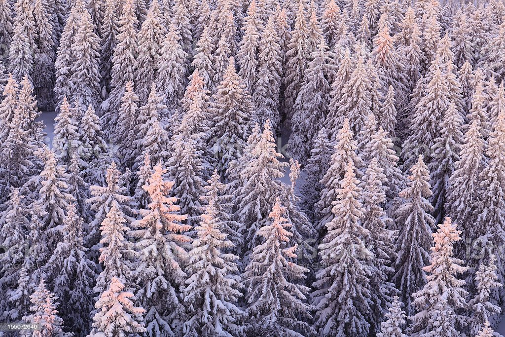Winter Forest At Sunrise royalty-free stock photo
