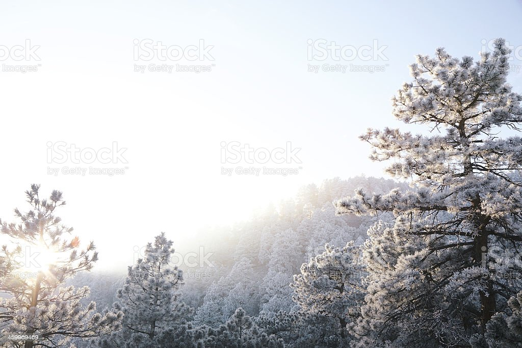 Winter Forest Background royalty-free stock photo