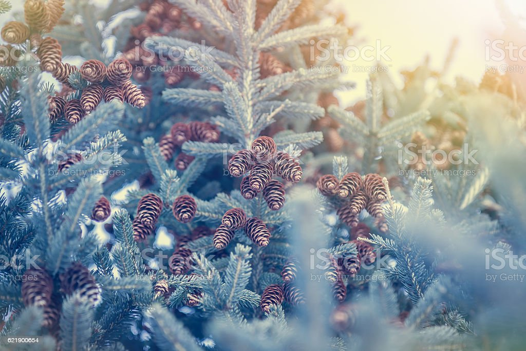 Winter forest background with snowflakes and fir tree with cones stock photo
