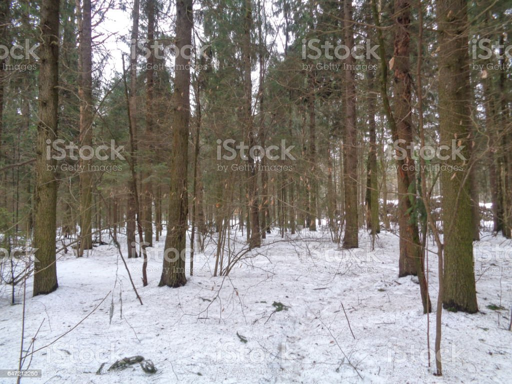Winter forest before the spring. Wild nature of Russia stock photo