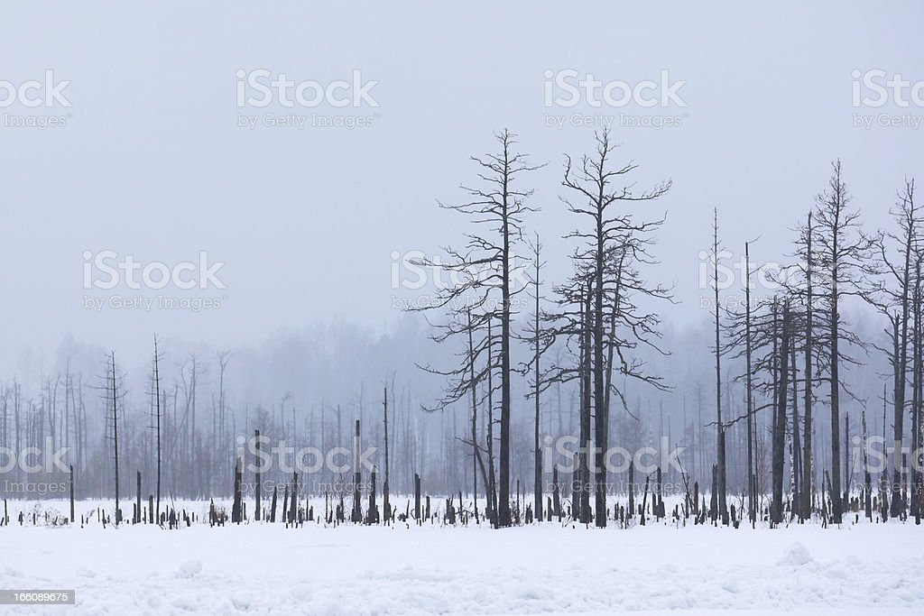 Winter forest in a fog royalty-free stock photo