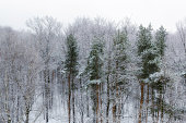 Winter forest in snowfall