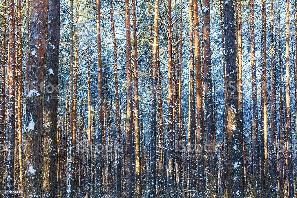 Winter forest nature snow woods background royalty-free stock photo