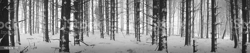 Winter forest panoramic stock photo