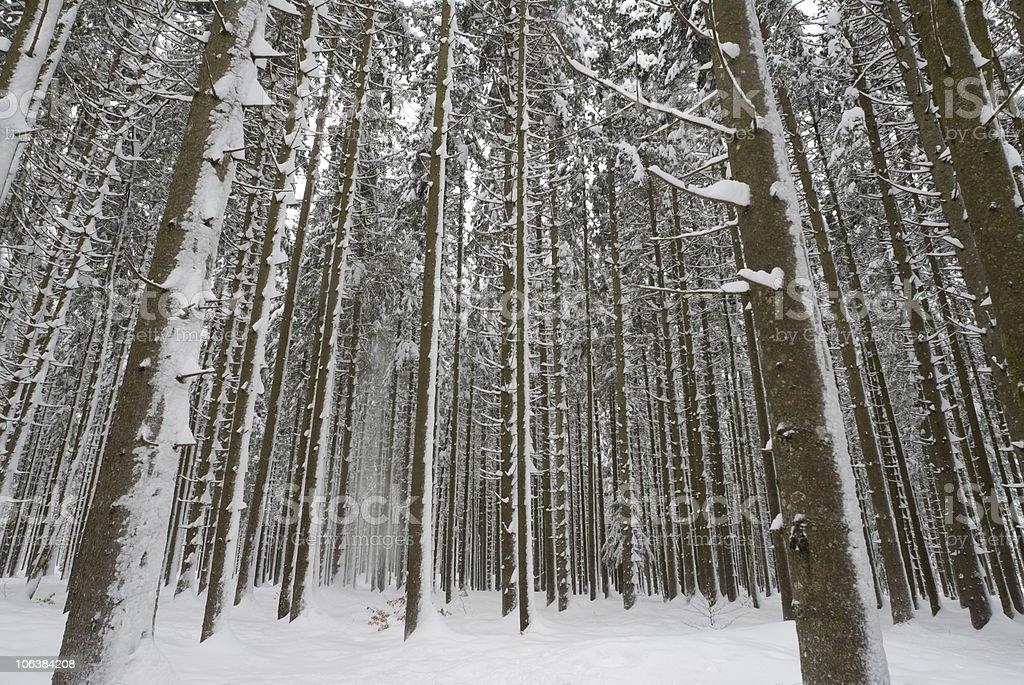 Winter foresta foto stock royalty-free