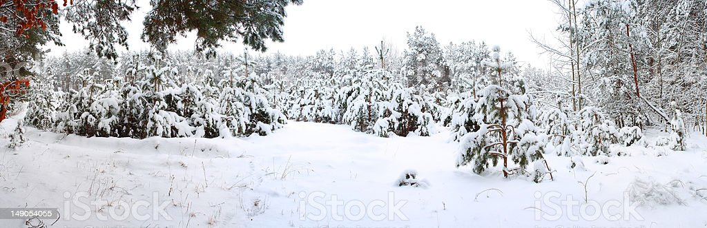 Winter forest. royalty-free stock photo