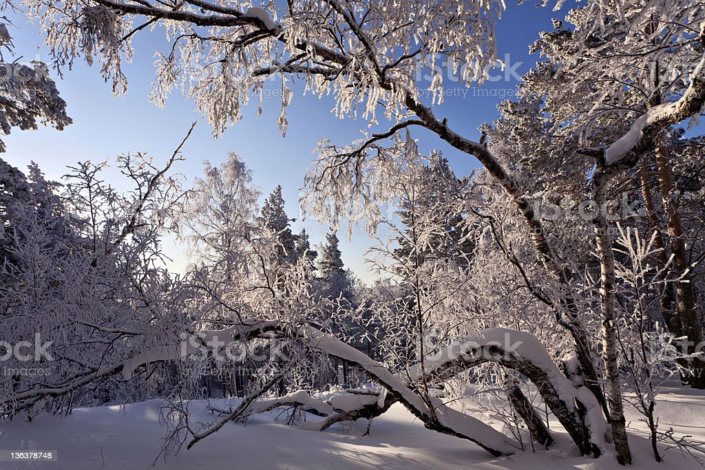 Winter forest with rime on trees royalty-free stock photo