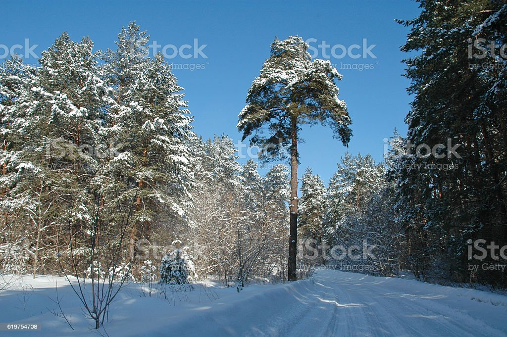 Winter forest with trees covered snow stock photo