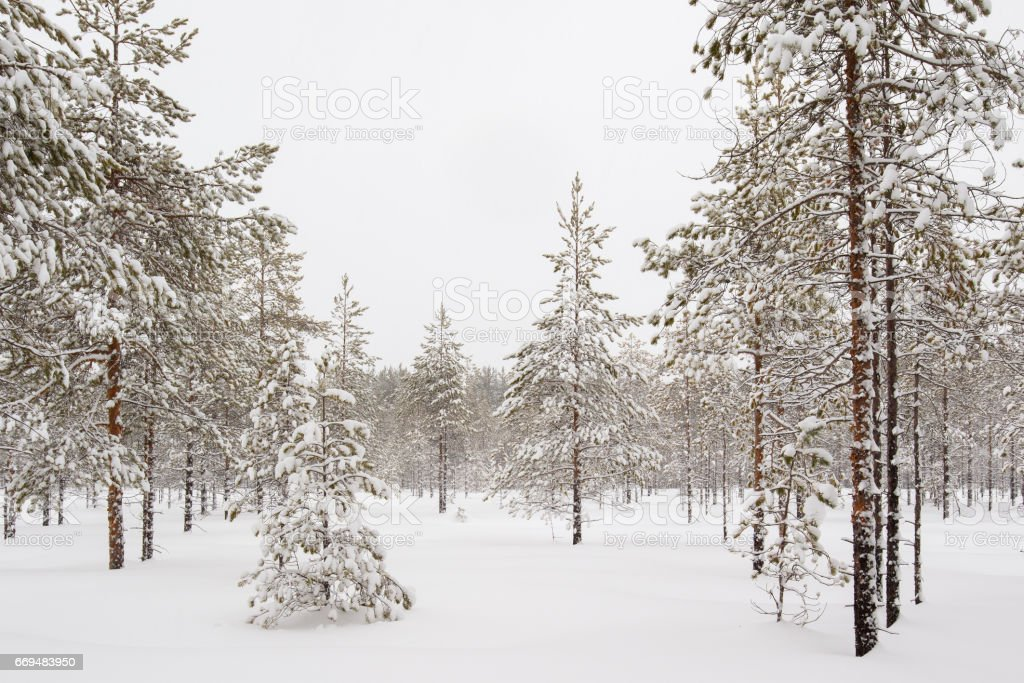 Winter forest with young pines in the foreground stock photo