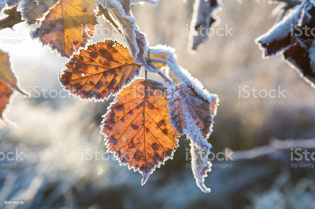 Winter frozen leafs stock photo