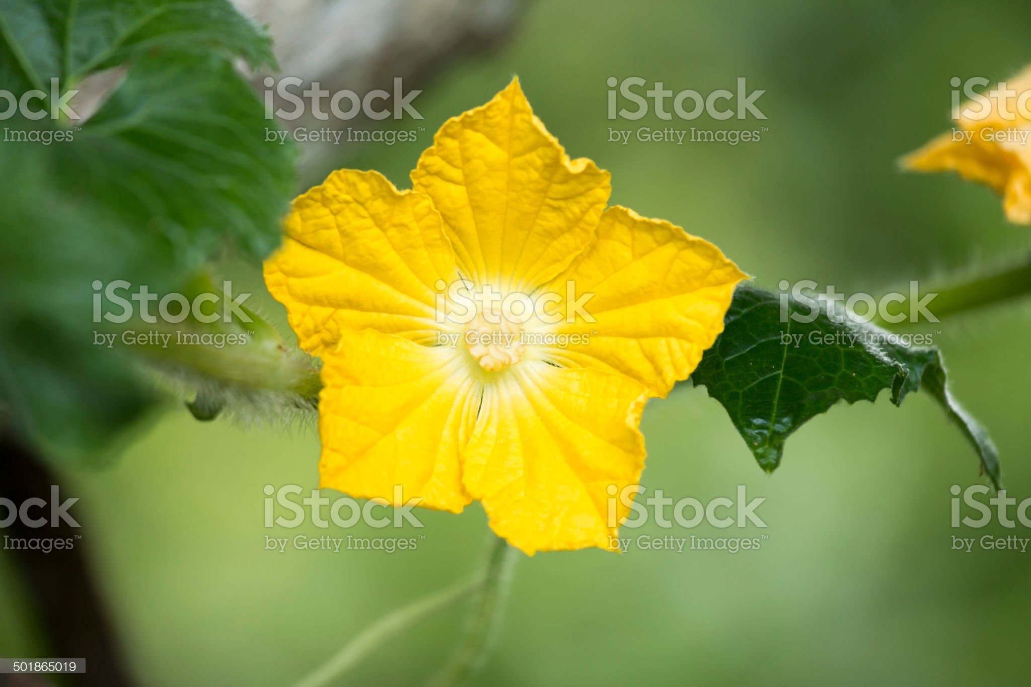 Winter Gourd flowers royalty-free stock photo