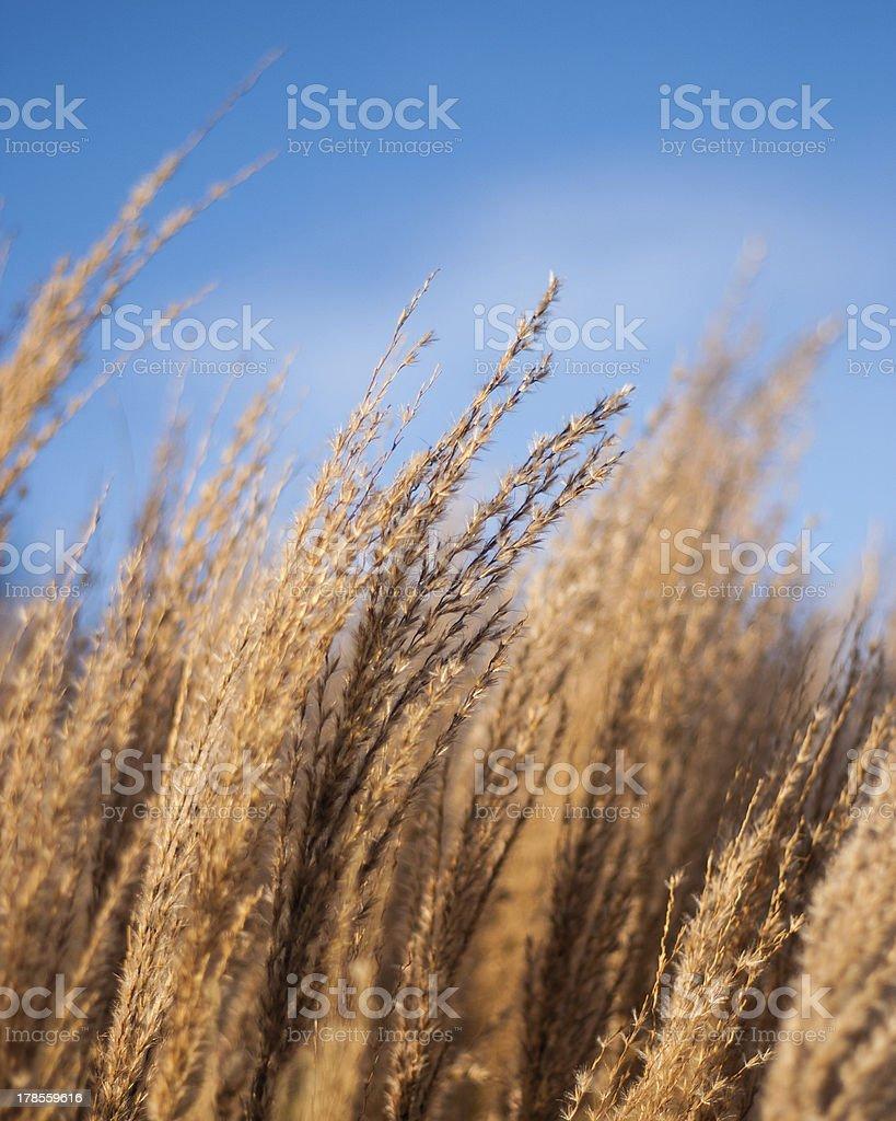 Winter Grasses Portrait royalty-free stock photo