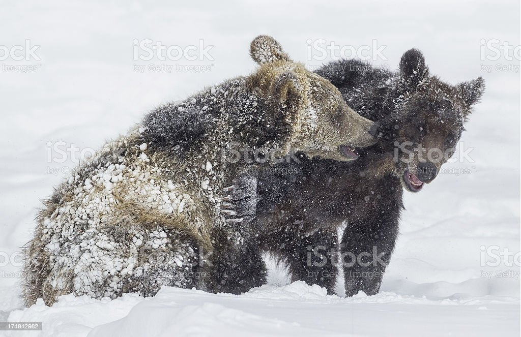 Winter Grizzly Bears stock photo