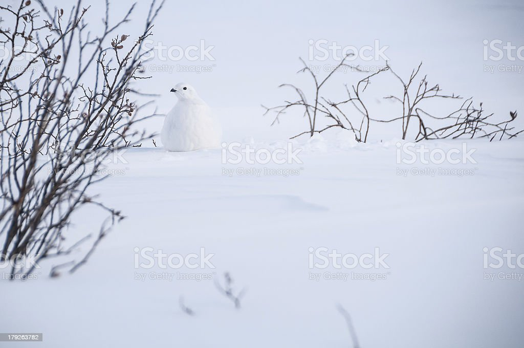 Winter Grouse royalty-free stock photo