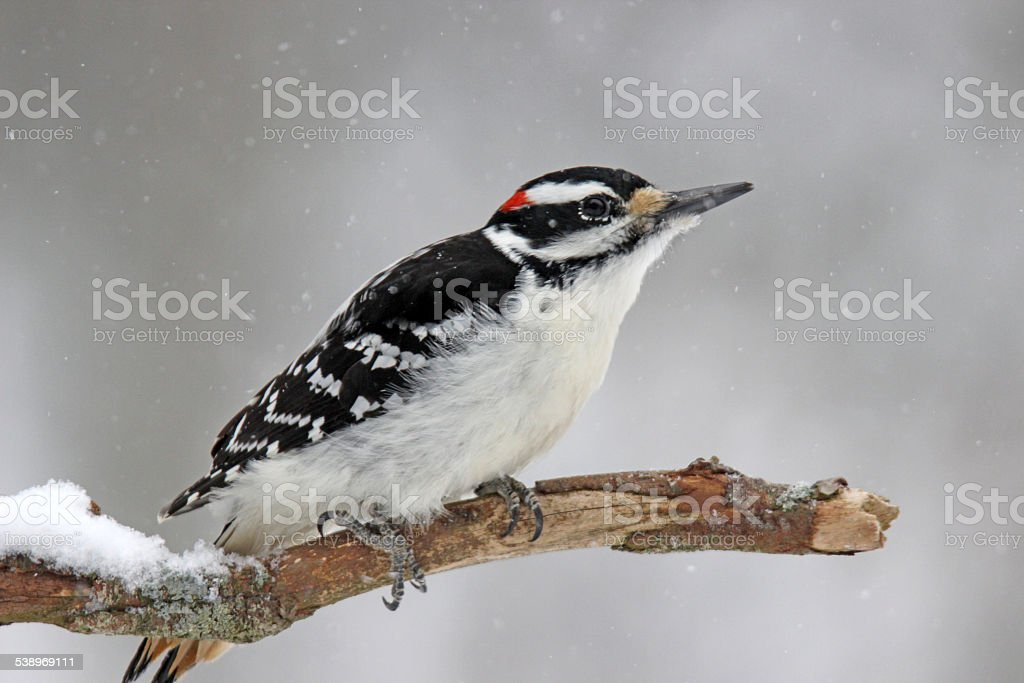 Winter Hairy Woodpecker stock photo