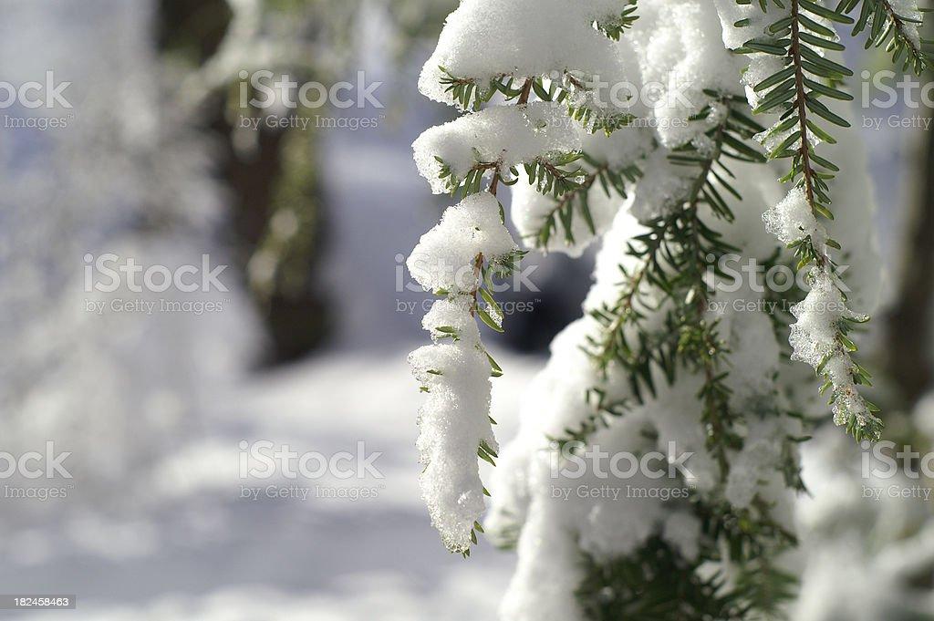 Winter Hemlocks stock photo