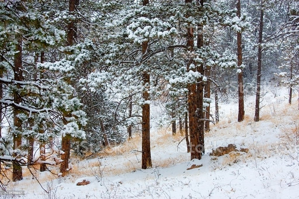 Winter in Pike National Forest royalty-free stock photo