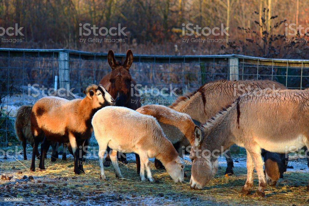 Winter in the barnyard stock photo