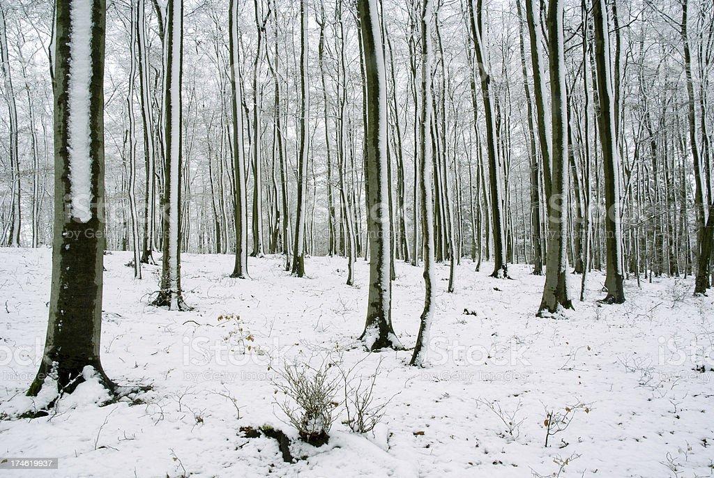 Winter in the beechwood stock photo
