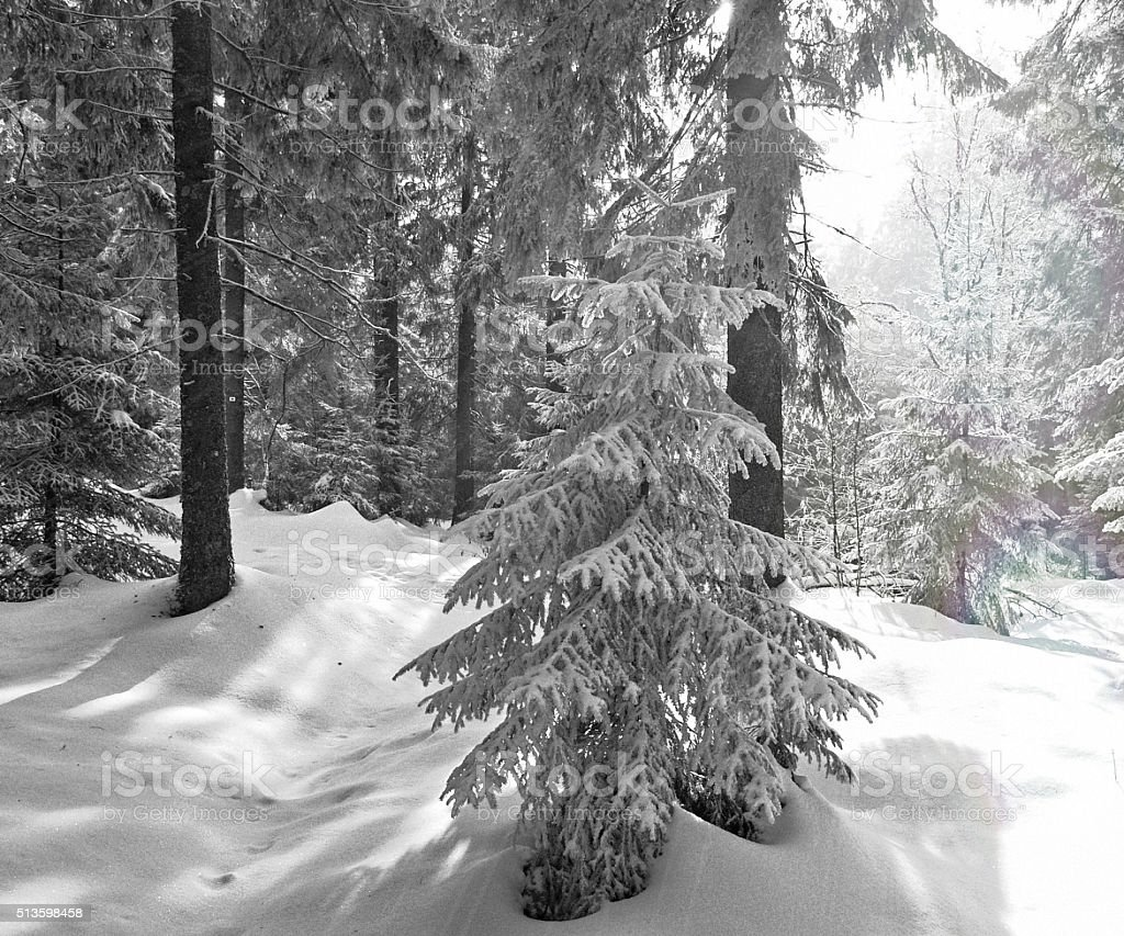 Winter in the Black Forest with snow and many firs stock photo