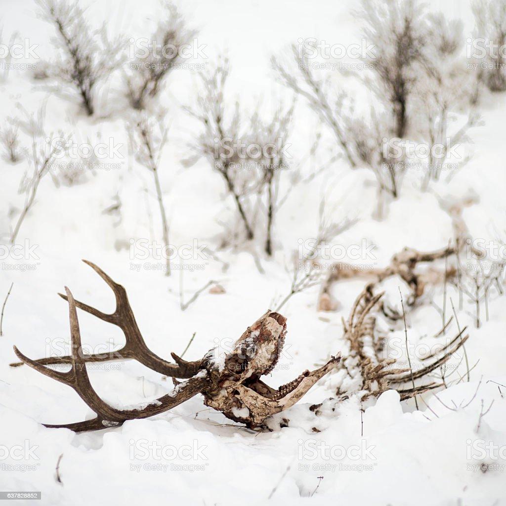 Winter killed deer buck stock photo
