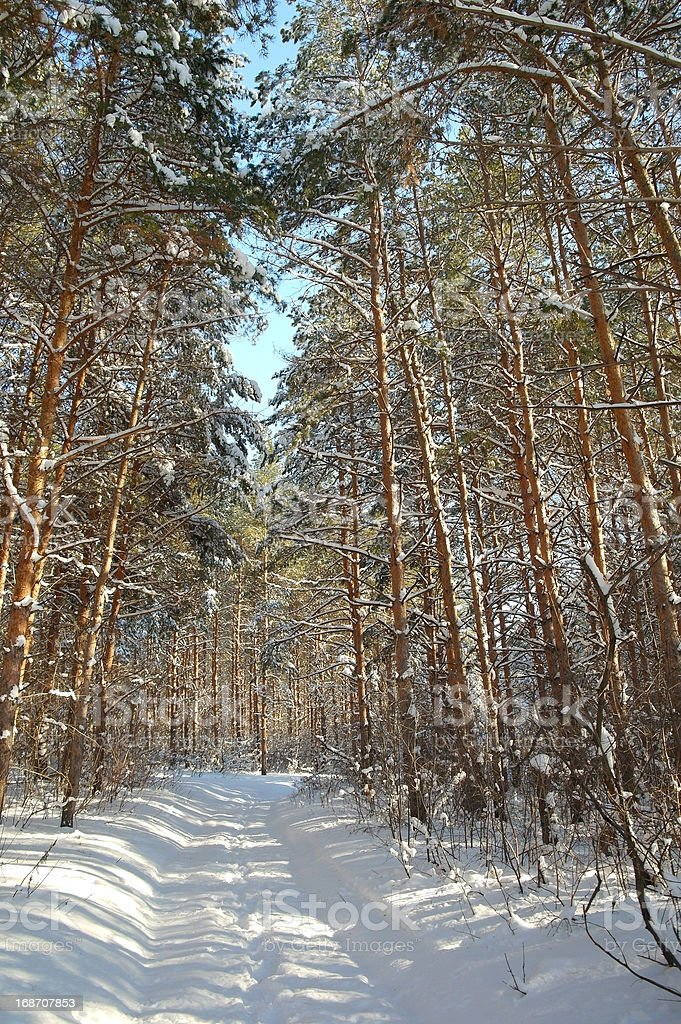 Winter landscape in forest with pines royalty-free stock photo