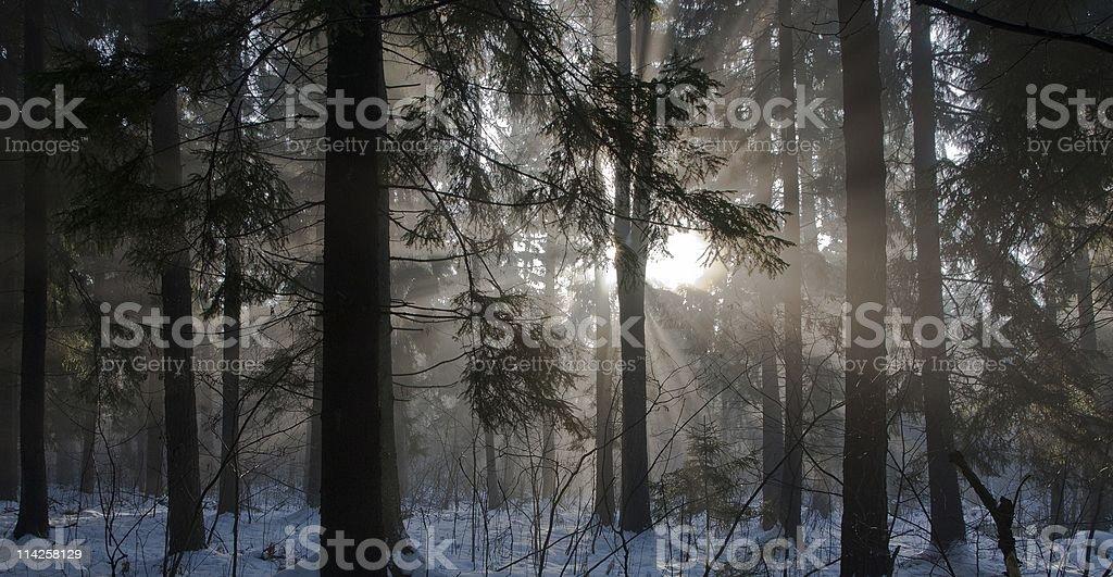 Winter landscape of coniferous stand stock photo