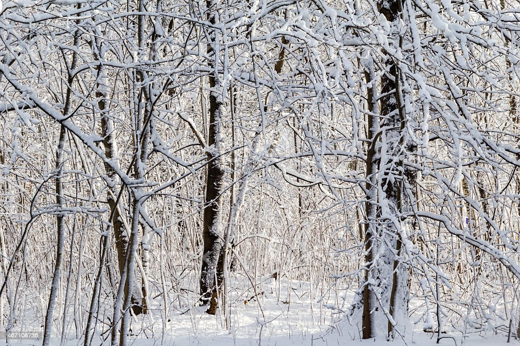 Winter landscape snow thicket forest stock photo