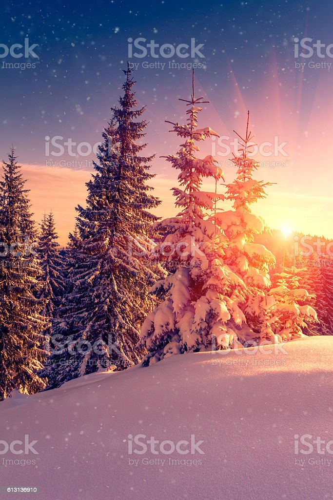 Winter landscape. Snow-covered conifer trees and snowflakes at sunrise. stock photo