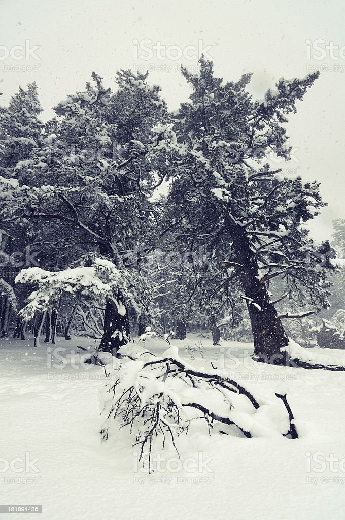 Winter landscape with pines covered by snow royalty-free stock photo