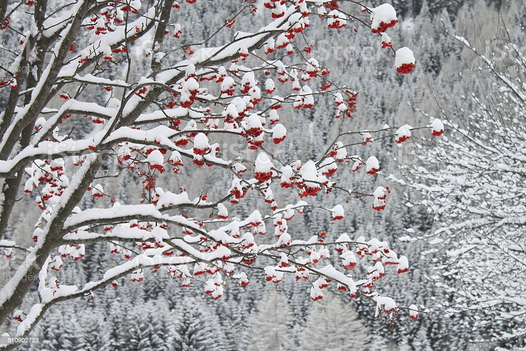 Winter landscape with red berries royalty-free stock photo