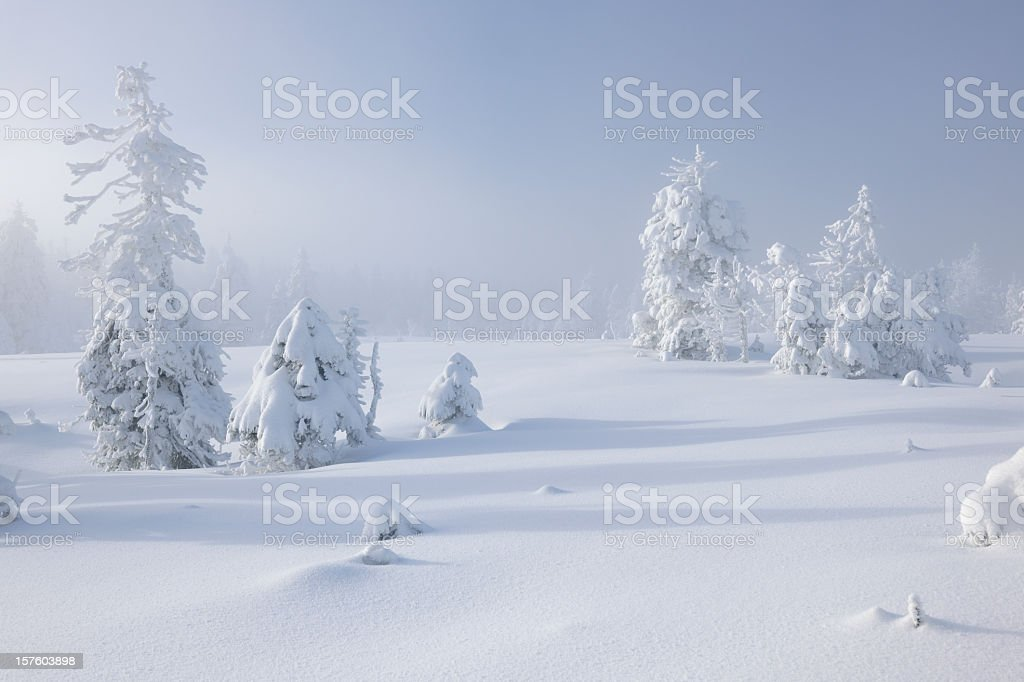 Winter Landscape with Snow Covered Spruce Trees and Brewing Snowstorm stock photo