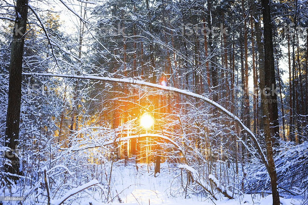 winter landscape with the pine forest and sunset royalty-free stock photo
