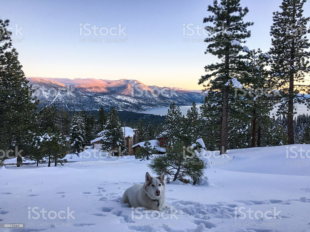 Winter landscape - Wolf dog on mountain stock photo