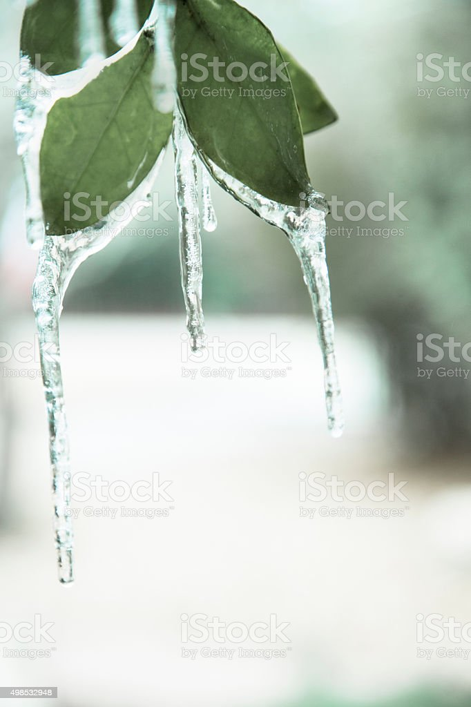 Winter. Late season freeze. Icicles hanging on spring leaves. stock photo