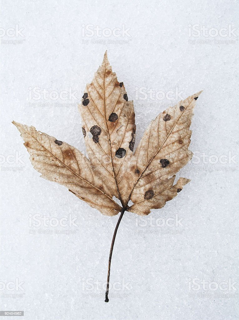 Winter Leaf royalty-free stock photo