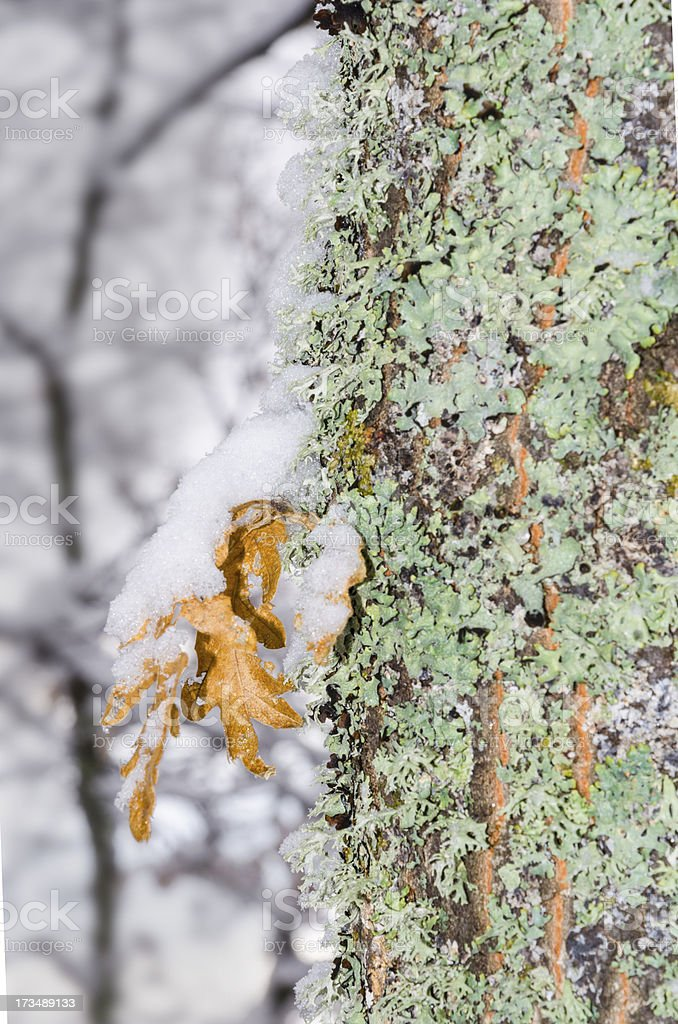 winter leaf with snow hanging on green bark tree background royalty-free stock photo