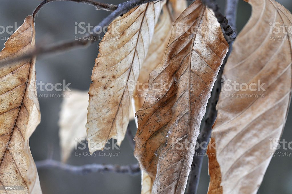 Winter Leaves royalty-free stock photo