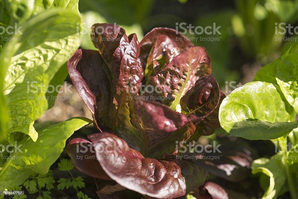Winter Lettuce royalty-free stock photo