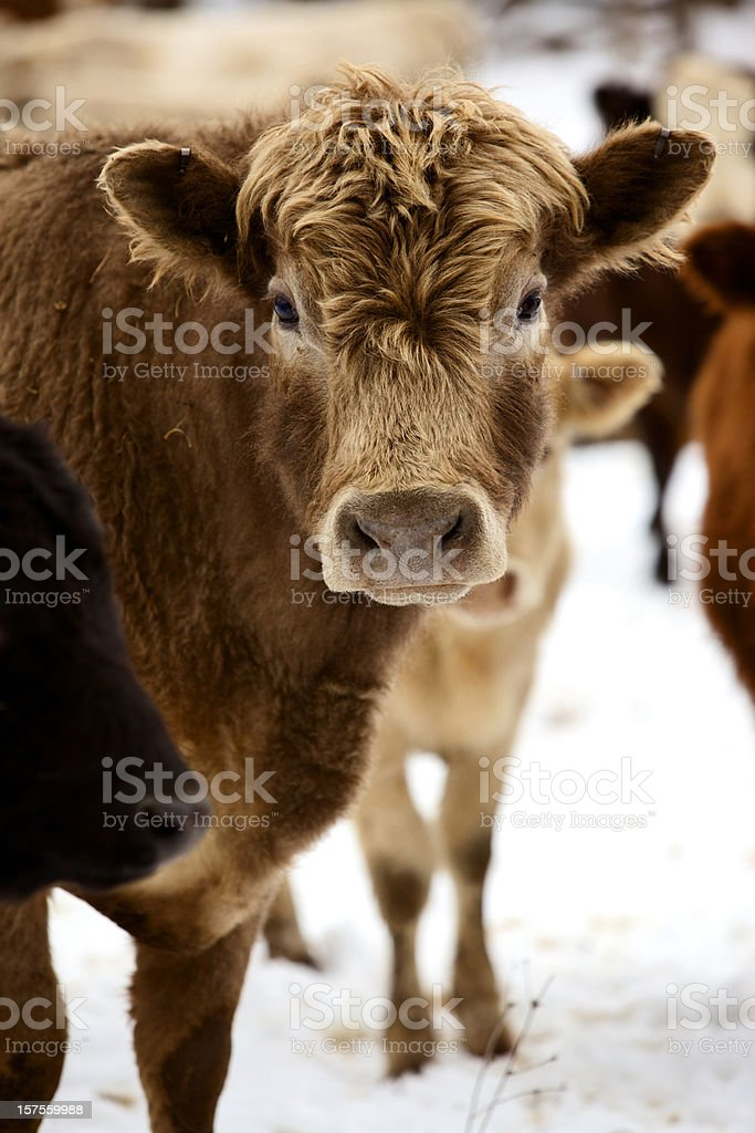 winter livestock cattle series stock photo