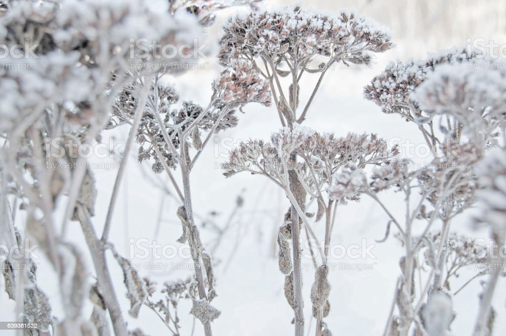 Winter. Macro. Frozen herb on snow background. Plants in frost. stock photo