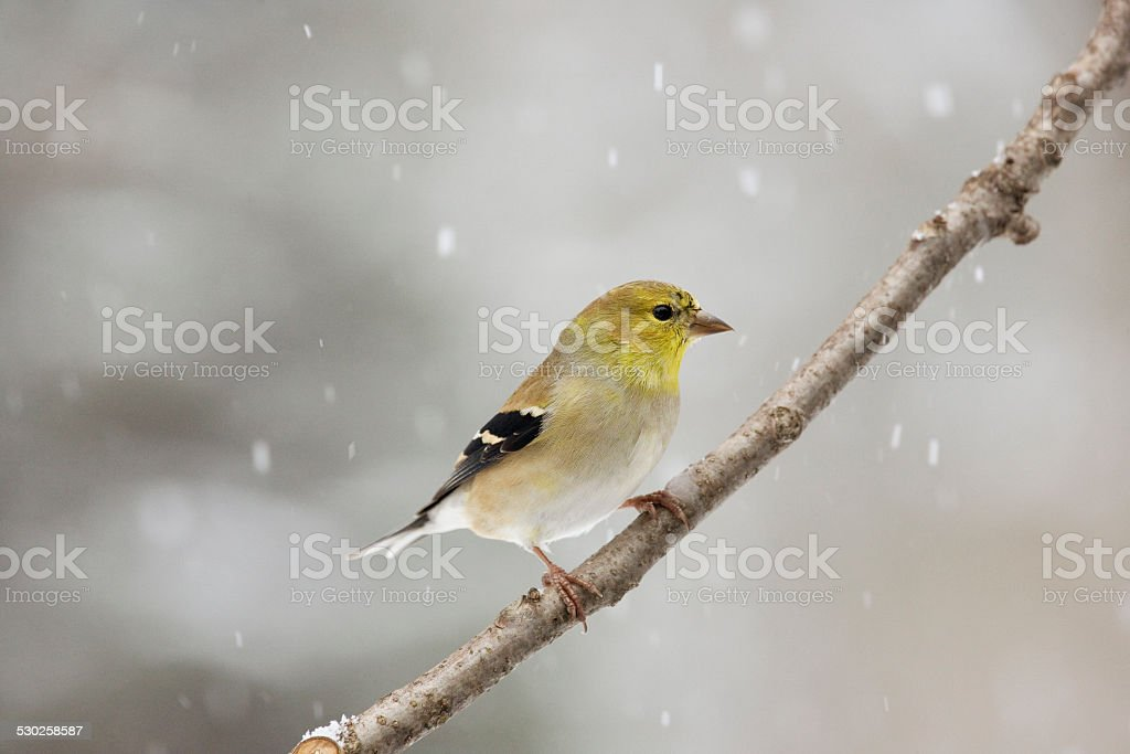 Winter Male American Goldfinch Looking Right stock photo