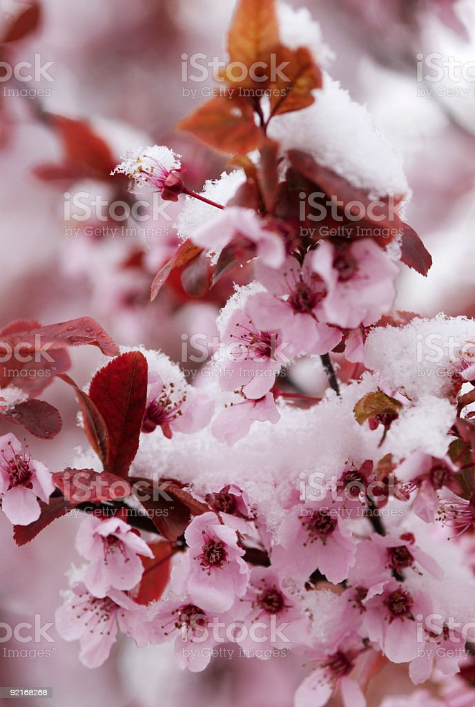 Winter meets Spring royalty-free stock photo