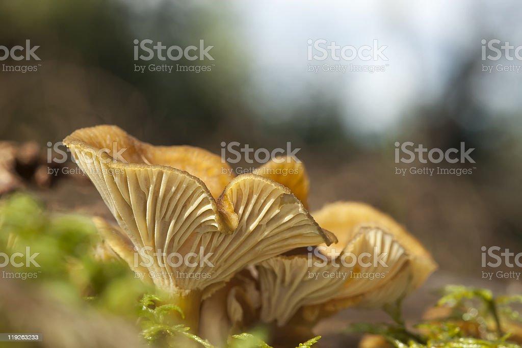 Winter mushroom (Cantharellus tubaeformis) stock photo