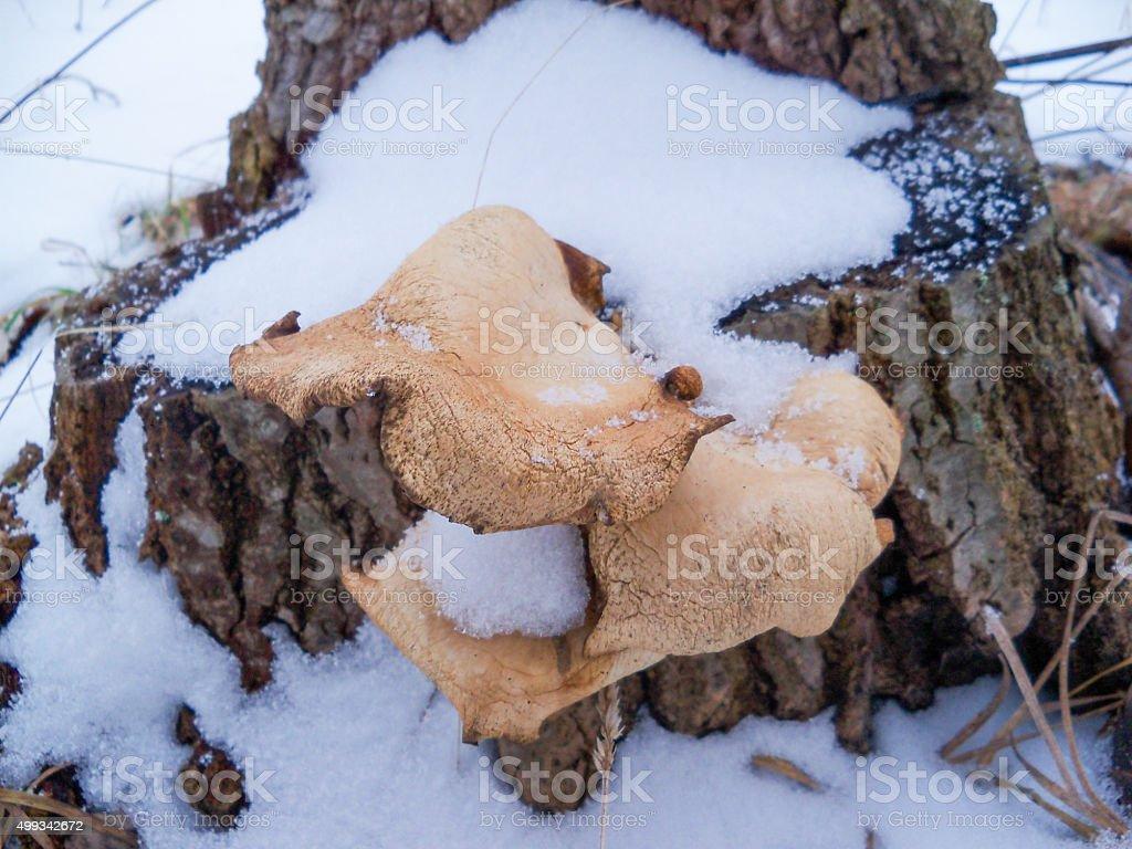 winter mushrooms on stump stock photo