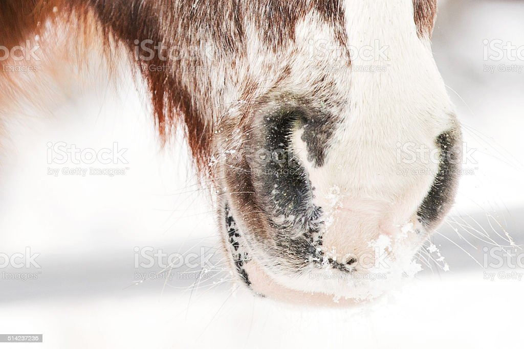 Winter Muzzle of a Red Roan Horse stock photo